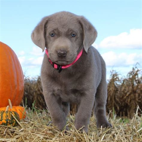 Silver Labrador Retriever Puppies For Sale Greenfield
