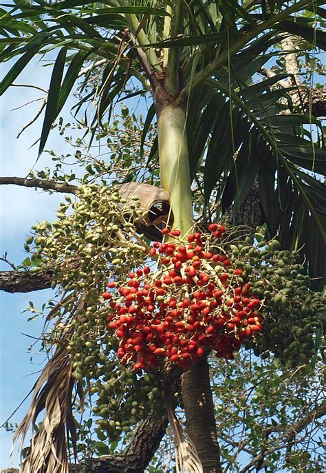 palm tree fruit name adonidia merrillii identifying commonly cultivated palms