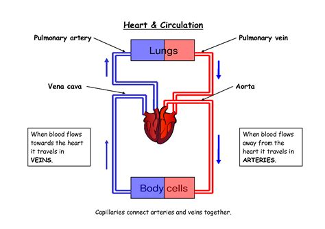 blood flow diagram blood circulation in the diagram defenderauto info
