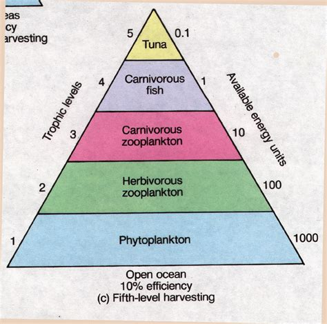 pattern of energy flow within an ecosystem salient features of ecological pyramids tutorvista