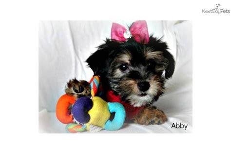 6 week yorkie poo puppies meet abby a yorkiepoo yorkie poo puppy for sale for 400 9 week yorkie poo