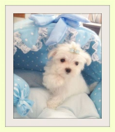 yorkie puppies for sale in erie pa 1000 images about maltese on teacup maltese puppies white puppies and