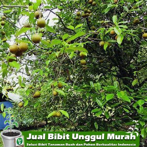 Jual Bibit Anggur Import Di Medan jual bibit tanaman palajamu unggul murah agro bibit id