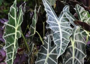 Colorful Foliage Plants - pictures of foliage plants taro leaf color