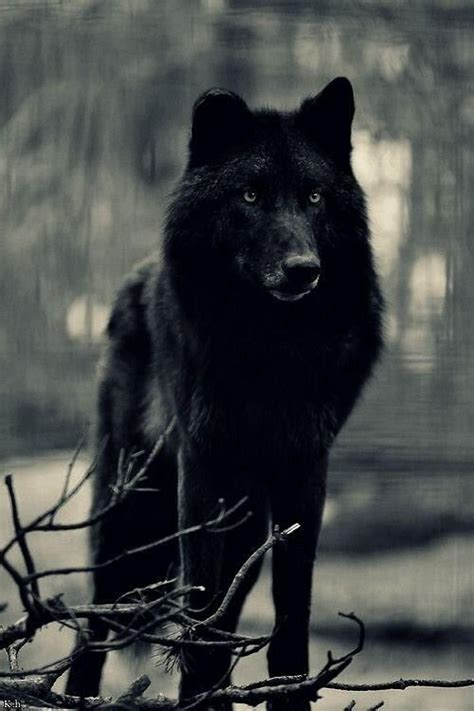 Stunning Wildlife On Wolf Animal And Beautiful Things Black Wolf American