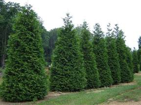 Pruning Flowering Shrubs - arborvitae green giant garden housecalls