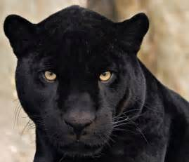 Are Jaguars And Panthers The Same 17 Best Images About Totem Black Leopard On