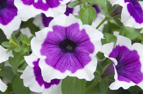 petunia petunia sp cascadia violet photograph by