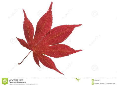 acer leaf royalty free stock photos image 2338038