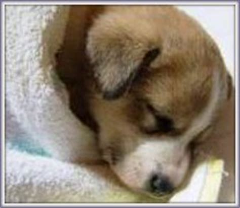 signs of distemper in puppies vaccination requirements rescue guardian inc