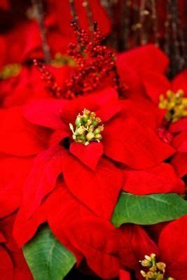 1000 images about plants poinsettia on pinterest