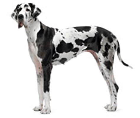 yorkie stomach bloated great dane breed facts and personality traits hill s pet