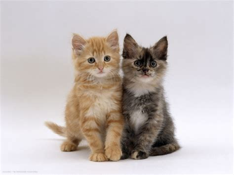 8 Kitchen Faucet by 8 Week Fluffy Tortoiseshell And Ginger Kittens Domestic