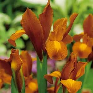 iris bulbs autumn princess dobies
