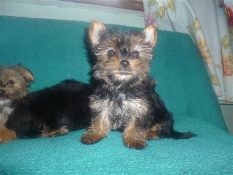 different color yorkies yorkies different colors breeds picture