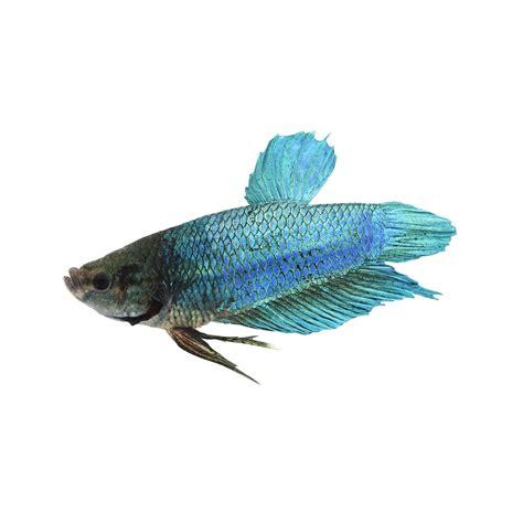 king bett king betta fish petco