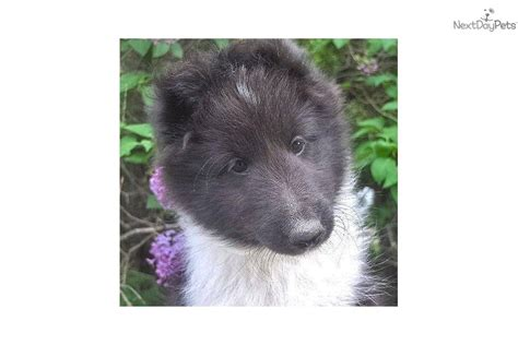 whispering pines puppies puppies for sale from s whispering pines shelties nextdaypets