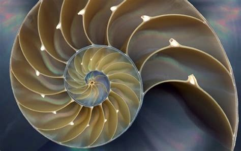nautilus pattern nature fibonacci sequence power girls love math