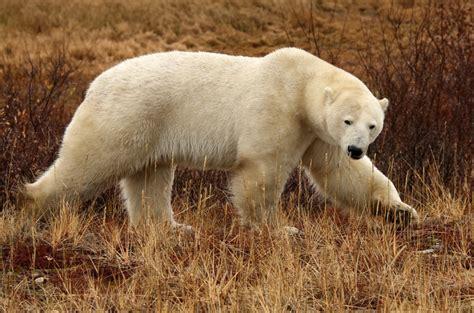 polar stats churchill churchill polar bears