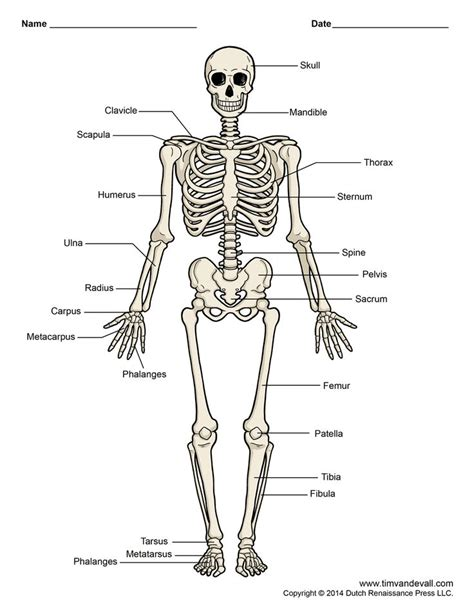 best 25 human skeleton bones ideas only on skeleton anatomy labelled best 25 skeleton labeled ideas only on human skeleton labeled human skeleton bones