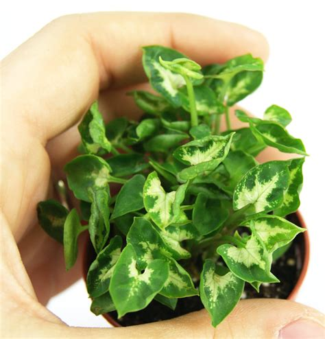 mini green syngonium growing syngonium plant arrowhead plant propagation