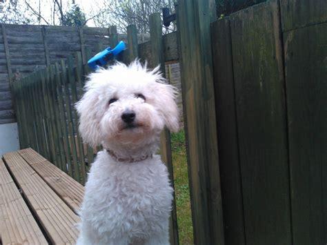 shih tzu rescue omaha miniature australian shepherd shih tzu hybrid dogs breeds picture