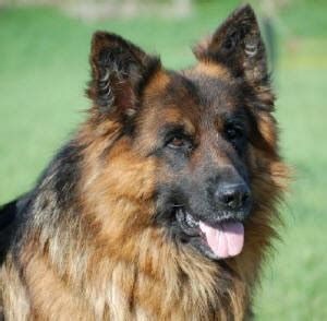 Why Do German Shepherds Shed So Much by 17 Best Images About Gsds On A Well Beautiful