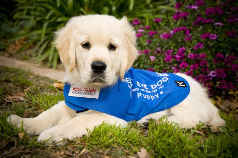 when does a puppy become a become a seeing eye dogs puppy carer australian lover