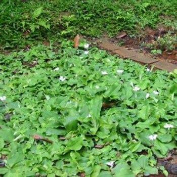 Jual Bibit Tanaman Kencur Kaskus bibit kencur jual bibit tanaman unggulan