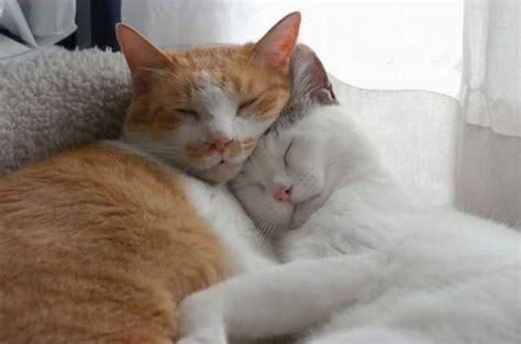 cat and cuddling cats cuddling teh