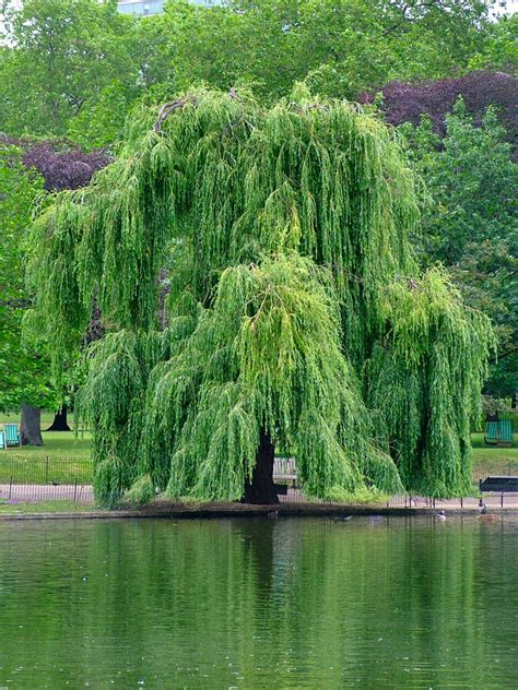 of willow file willow jpg