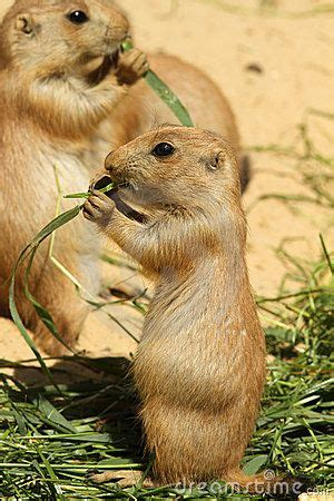 baby prairie dogs best 25 prairie dogs ideas on bears smiling animals and otters