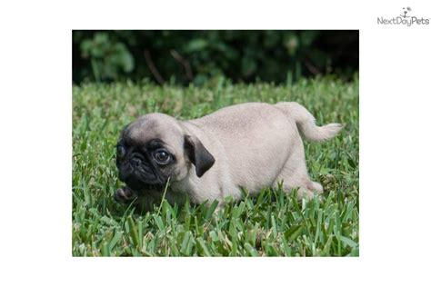 adopt a pug puppy for free teacup pug puppy rescue