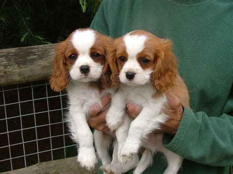 spaniel puppy cavalier king charles spaniel puppies for sale kidderminster worcestershire