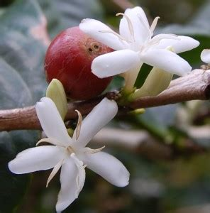 Coffee Tree   The most expensive coffee in the world   All details about Kopi Luwak