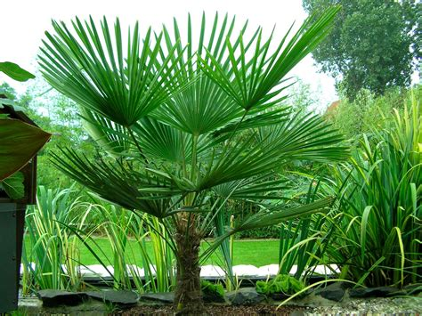 Indoor Tropical Foliage Plants - trachycarpus fortunei hardy chusan windmill fan palm young 30 40cm hardy palm tree