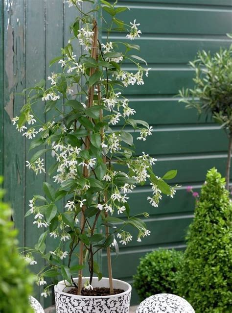 evergreen climbing plants for containers 24 best vines for containers climbing plants for pots
