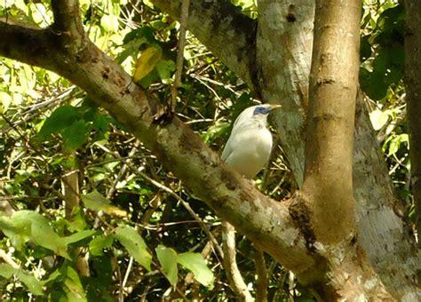 Tempat Makan Burung Perkutut upaya mengembalikan keindahan jalak bali ke habitat alami