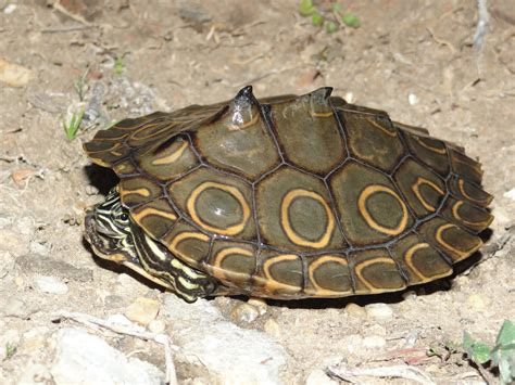 louisiana map turtle ringed map turtle graptemys oculifera hibians and