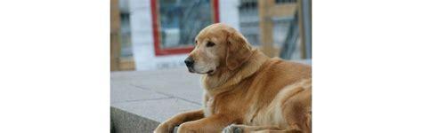 lymphoma in golden retrievers high calcium levels revealed lymphoma in golden retriever the national canine