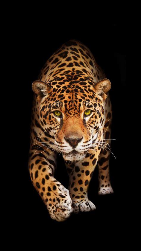 wild cat jaguar hd wallpapers hd wallpapers id