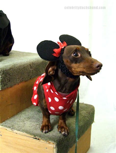 weiner costumes dachshund costumes contest results crusoe dachshund