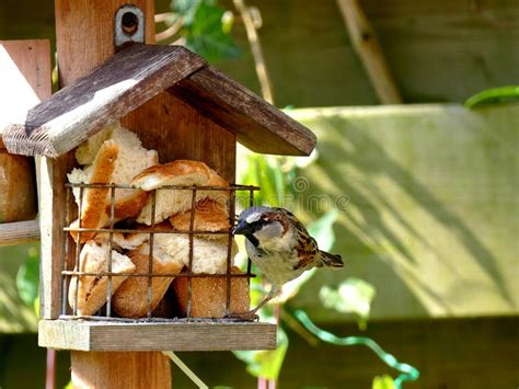 alimentazione passero passero si alimenta aviario immagine stock immagine