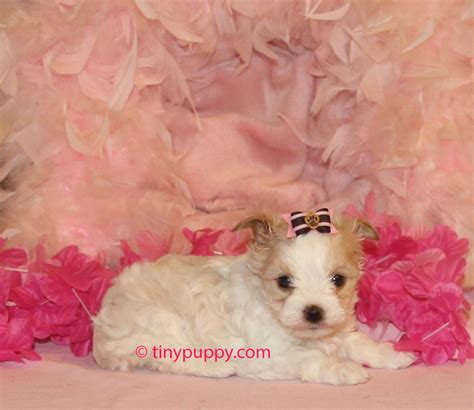 gold dust yorkies x tra tiny gold dust terrier buttercup tinypuppy