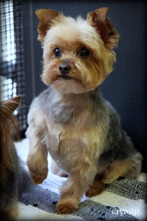 yorkshire short cuts yorkie terrier dog grooming haircut pictures cryrolfe