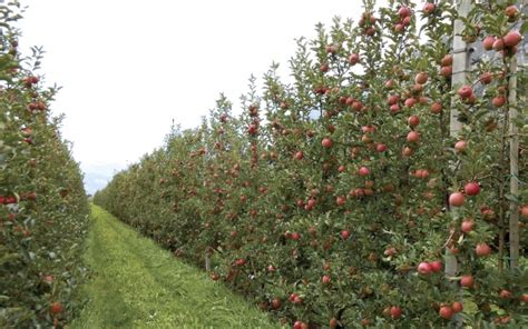 Cost Of Trellis Techniques Amp Benefits Of A Fruit Wall Good Fruit Grower