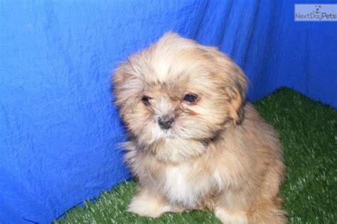 princess shih tzu for sale princess shih tzu shih tzu puppy for sale near jonesboro arkansas