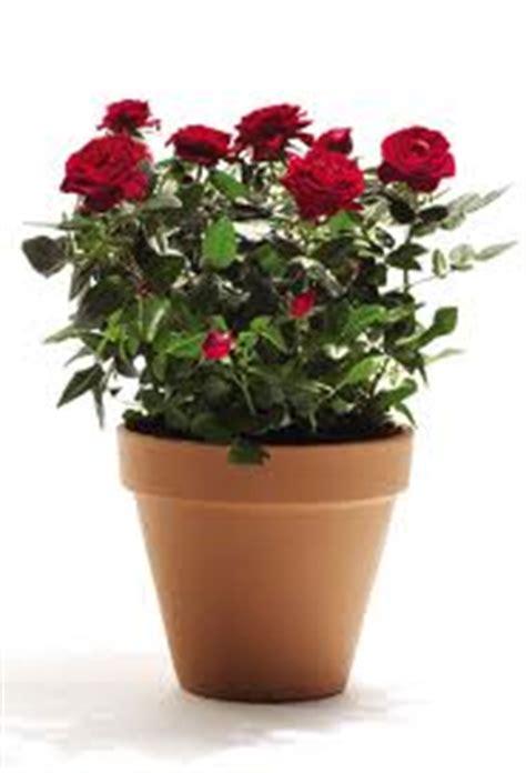 rosa in vaso scegliere e piantare la compagnia delle