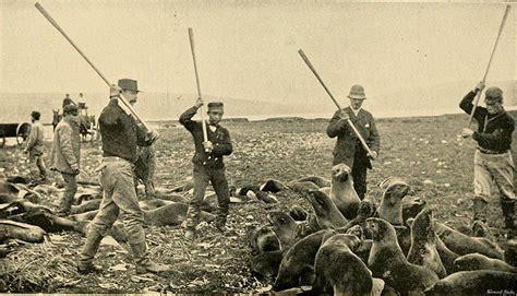 File 800px killing fur seals st paul island alaska 1890s jpg foundsf