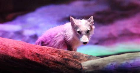 arctic fox den ocean park hong kong